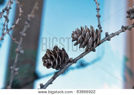 Larch Cones On The   Branches Of Winter Forest.