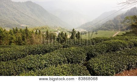 Tea Plantation On Highland