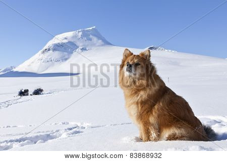 The Finnish Lapphund, female in it´s habitats, biotope.