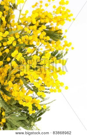 Blossoming Yellow Mimosa On A Light Background