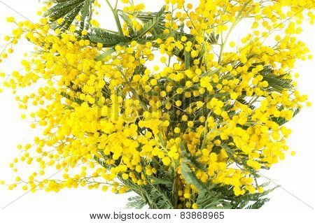 Blossoming Yellow Mimosa On A White Background