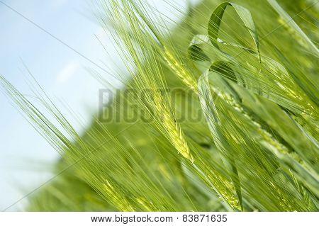 Rye On The Rye Field