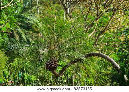 Palm in botanical garden