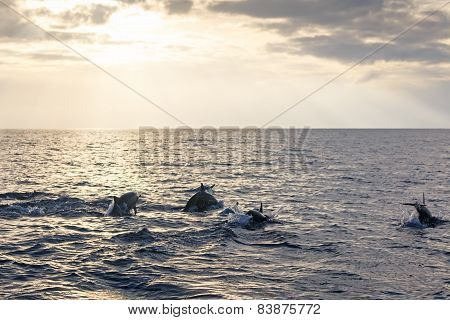 Beautiful Dolphins Swimming At Sunrise In The Philippines