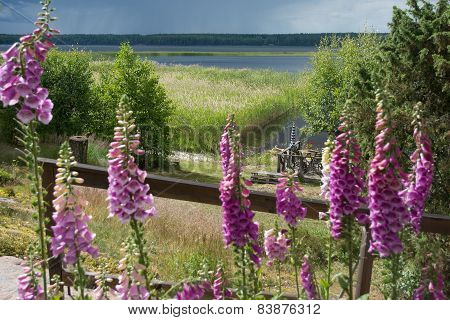 Foxglove around Midsummer Varmland Sweden