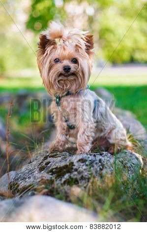 Yorkshire Terrier Smiling At Camera