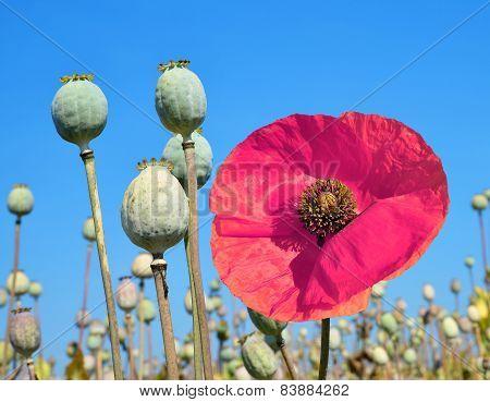 Poppy heads in field