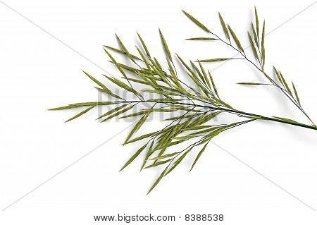 Flowering Panicle Weed