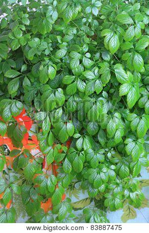 Jiaogulan Lat. Gynostemma Pentphyllum