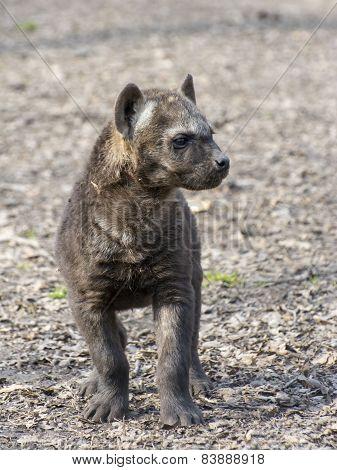 Spotted Hyena (crocuta Crocuta) Baby