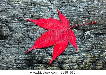 Red maple leaf on black burnt wood