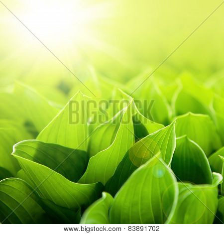 Fresh green flower leaves at sunlight