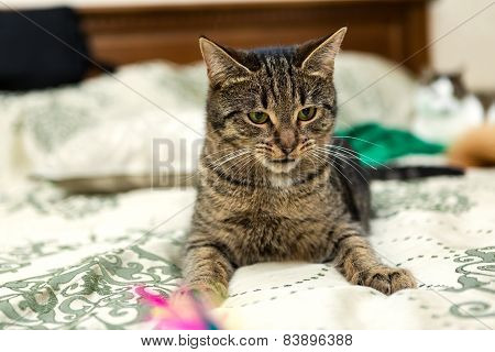 Domestic Cat Is Lying On The Bed