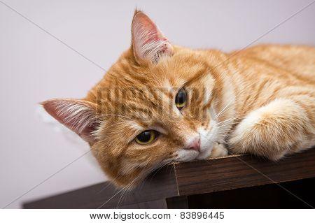 Lazy Orange Cat