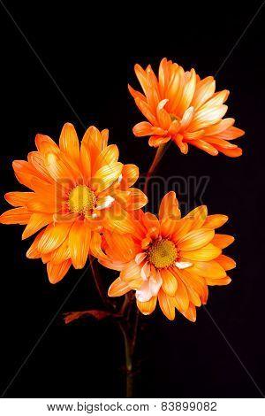 Dasiy Floral Arrangement