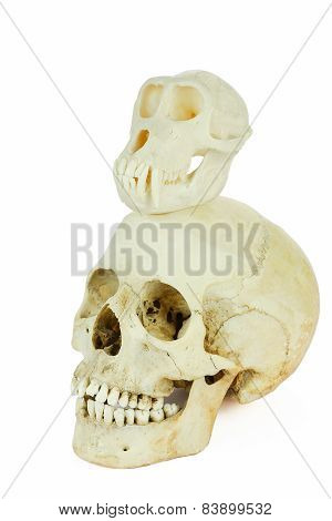 Skulls of human and ape on top of each other