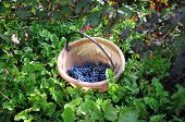 picture of moscato  - basket  bunches of grapes  green leaf green black - JPG