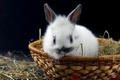 pic of midget  - small rabbit in basket isolated on black background - JPG