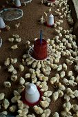 picture of poultry  - View of a poultry farm showing chicks and their feeders - JPG