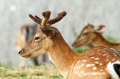 foto of bucks  - dama buck  - JPG