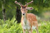 image of bucks  - fallow deer buck in the forest harassed by fleas - JPG