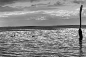 foto of black swan  - Big fork lake and swans in Vevey Switzerland black and white - JPG