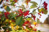 stock photo of rowan berry  - rowanberry tree in autumn. seasonal photo. nature background. small depth of field for enhancing effect. autumn scene. close up bright rowan berries. green leaves. sunny day