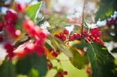 picture of rowan berry  - rowanberry tree in autumn. seasonal photo. nature background. small depth of field for enhancing effect. autumn scene. close up bright rowan berries. green leaves. sunny day