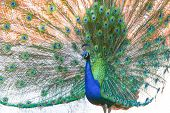 picture of indian peafowl  - A view of an indian blue peacock spreading his wings - JPG