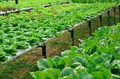 stock photo of hydroponics  - green lettuce cultivation hydroponics green vegetable in farm - JPG
