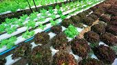 pic of hydroponics  - green lettuce cultivation hydroponics green vegetable in farm - JPG