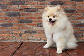 pic of petting  - pomeranian puppy dog cute pet smile face - JPG