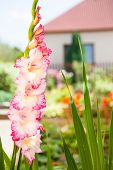 stock photo of gladiolus  - Gladiolus flower branch on ornamental garden background - JPG