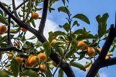 picture of kumquat  - fruit - JPG