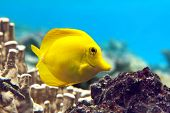 stock photo of coral reefs  - Yellow tang  - JPG