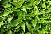 picture of nettle  - Wild nettles growing in the spring time - JPG