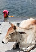 stock photo of gang  - Holy cow on Ganges river Rajasthan India - JPG