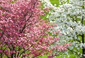 picture of dogwood  - Beautiful horizontal shot of colorful pink and white dogwood blossoms - JPG
