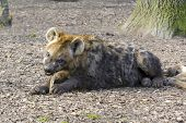 pic of hyenas  - Young spotted hyena  - JPG