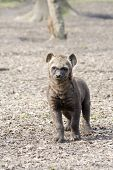 image of hyenas  - Spotted hyena  - JPG