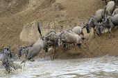 foto of wildebeest  - Wildebeest jumping in the Mara river while crossing the river - JPG