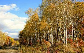 stock photo of birchwood  - gravel road next to the birchwood in an autumn attire - JPG