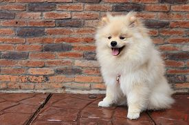 picture of little puppy  - pomeranian puppy dog cute pet smile face - JPG