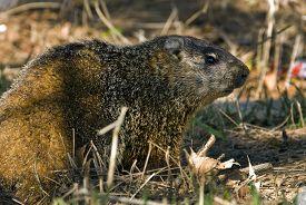 picture of groundhog  - A groundhog Toronto Ontario  - JPG