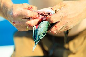 image of animal cruelty  - Fishing - man angler cleaning preparing fish aboard boat outdoors. Cruelty to animals.