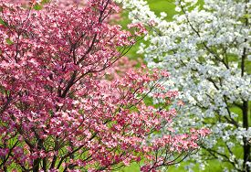 picture of japanese magnolia  - Beautiful horizontal shot of colorful pink and white dogwood blossoms - JPG