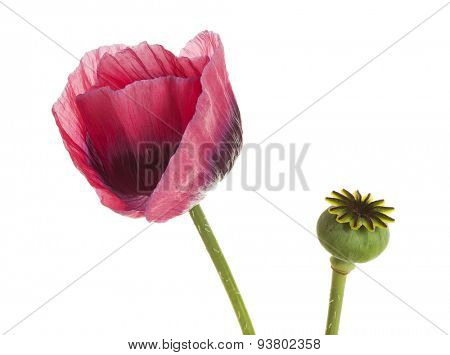 Flower and seed pod of opium poppy isolated on white background