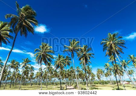 Tropical palm trees in Porto de Galinhas, Brazil