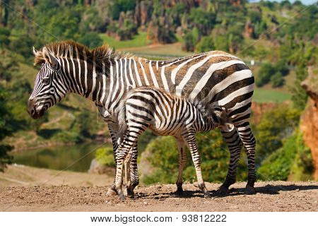 A zebra with her baby
