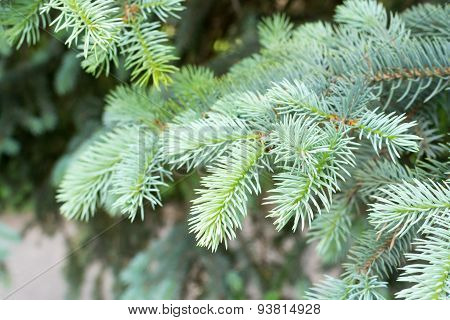 Close Up Of Pine Tree Branch